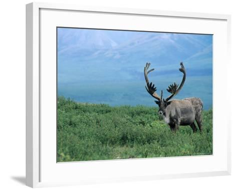 Caribou and Fresh Snow, Denali National Park, Alaska, USA-Howie Garber-Framed Art Print