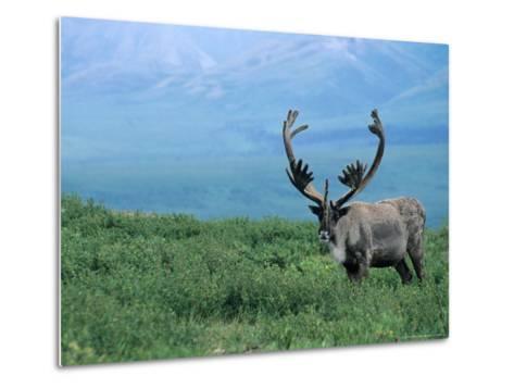 Caribou and Fresh Snow, Denali National Park, Alaska, USA-Howie Garber-Metal Print