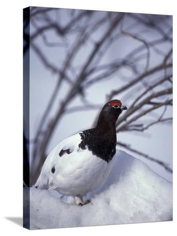 Willow Ptarmigan Perching in Willow Thicket, Denali National Park, Alaska, USA-Hugh Rose-Stretched Canvas Print