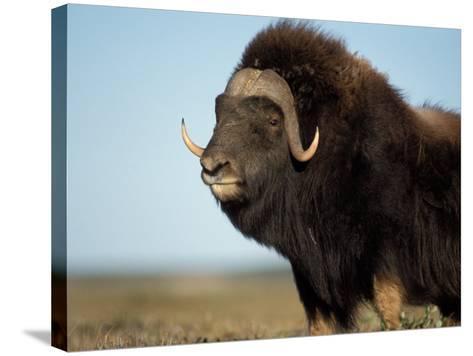 Musk Ox Bull on the North Slope of the Brooks Range, Alaska, USA-Steve Kazlowski-Stretched Canvas Print