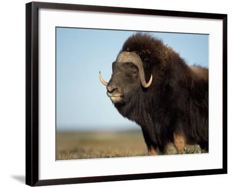 Musk Ox Bull on the North Slope of the Brooks Range, Alaska, USA-Steve Kazlowski-Framed Art Print
