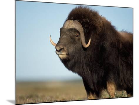 Musk Ox Bull on the North Slope of the Brooks Range, Alaska, USA-Steve Kazlowski-Mounted Photographic Print