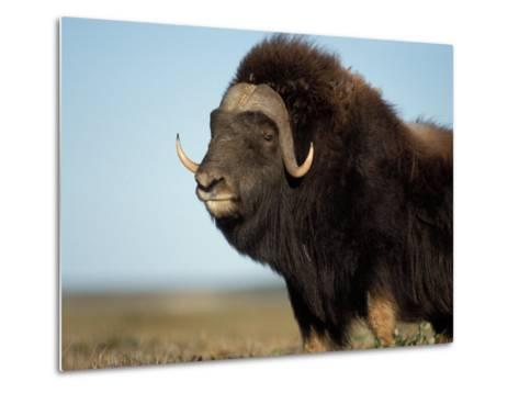 Musk Ox Bull on the North Slope of the Brooks Range, Alaska, USA-Steve Kazlowski-Metal Print
