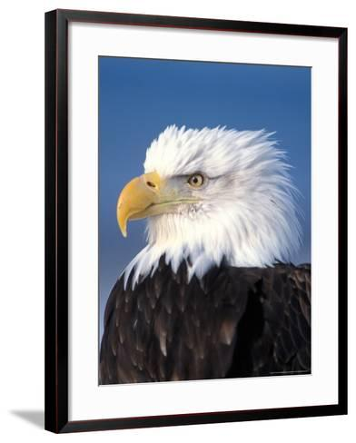 Bald Eagle in Katchemack Bay, Alaska, USA-Steve Kazlowski-Framed Art Print