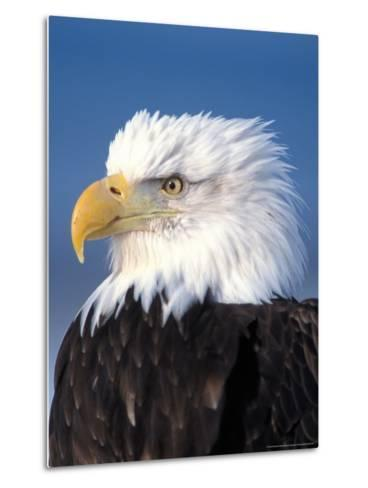 Bald Eagle in Katchemack Bay, Alaska, USA-Steve Kazlowski-Metal Print