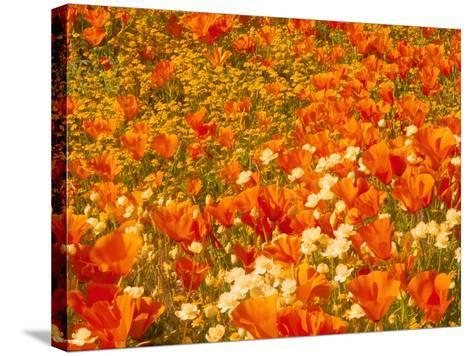 Poppies and Cream Cups, Antelope Valley, California, USA-Terry Eggers-Stretched Canvas Print