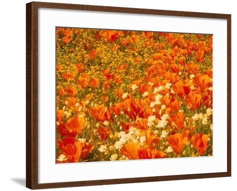 Poppies and Cream Cups, Antelope Valley, California, USA-Terry Eggers-Framed Art Print