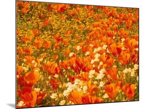 Poppies and Cream Cups, Antelope Valley, California, USA-Terry Eggers-Mounted Photographic Print