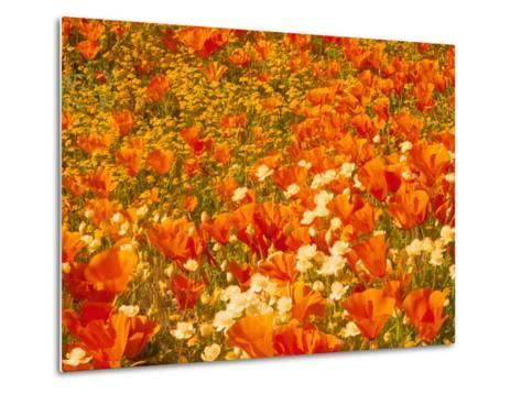 Poppies and Cream Cups, Antelope Valley, California, USA-Terry Eggers-Metal Print