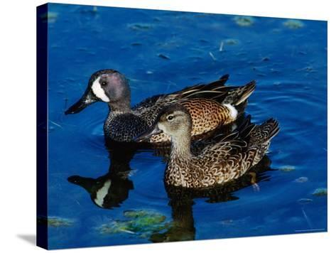 Blue-Winged Teals, Sanibel Island, Ding Darling National Wildlife Refuge, Florida, USA-Charles Sleicher-Stretched Canvas Print