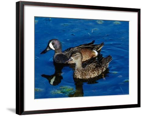 Blue-Winged Teals, Sanibel Island, Ding Darling National Wildlife Refuge, Florida, USA-Charles Sleicher-Framed Art Print