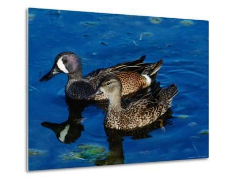 Blue-Winged Teals, Sanibel Island, Ding Darling National Wildlife Refuge, Florida, USA-Charles Sleicher-Metal Print
