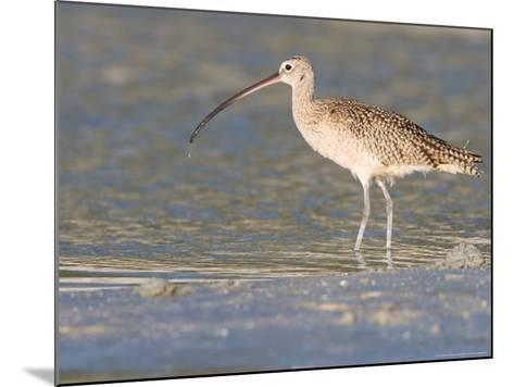 Long-Billed Curlew on North Beach at Fort De Soto Park, Florida, USA-Jerry & Marcy Monkman-Mounted Photographic Print