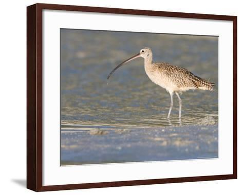 Long-Billed Curlew on North Beach at Fort De Soto Park, Florida, USA-Jerry & Marcy Monkman-Framed Art Print