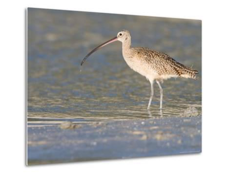 Long-Billed Curlew on North Beach at Fort De Soto Park, Florida, USA-Jerry & Marcy Monkman-Metal Print