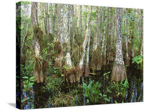 Cypress Swamp, Corkscrew Audubon Sanctuary, Naples, Florida, USA-Rob Tilley-Stretched Canvas Print