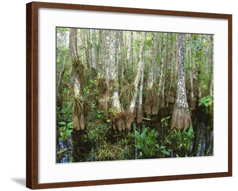 Cypress Swamp, Corkscrew Audubon Sanctuary, Naples, Florida, USA-Rob Tilley-Framed Art Print
