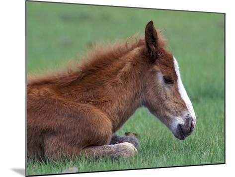 Wild Colt, Cumberland Island, Georgia, USA-Gavriel Jecan-Mounted Photographic Print