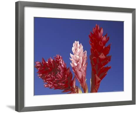 Ginger Trio and Blue Sky, Maui, Hawaii, USA-Darrell Gulin-Framed Art Print
