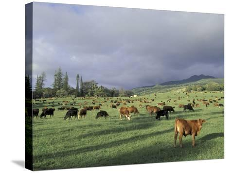 Cows Grazing in Lush Fields, Hana, Maui, Hawaii, USA-John & Lisa Merrill-Stretched Canvas Print