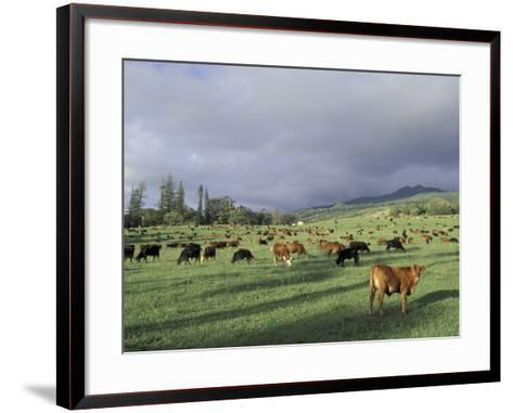 Cows Grazing in Lush Fields, Hana, Maui, Hawaii, USA-John & Lisa Merrill-Framed Art Print