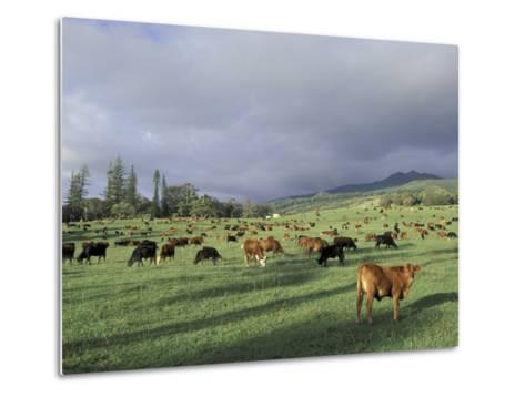 Cows Grazing in Lush Fields, Hana, Maui, Hawaii, USA-John & Lisa Merrill-Metal Print
