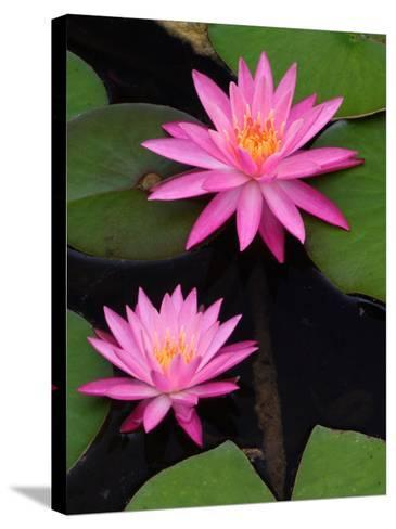 Hybrid Water Lily, Louisville, Kentucky, USA-Adam Jones-Stretched Canvas Print