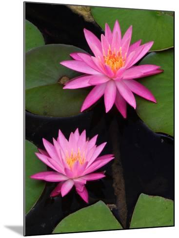 Hybrid Water Lily, Louisville, Kentucky, USA-Adam Jones-Mounted Photographic Print