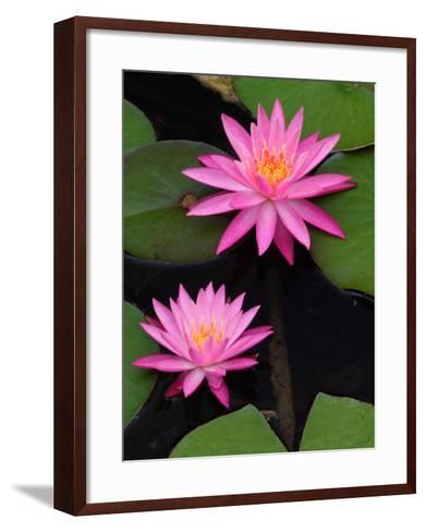 Hybrid Water Lily, Louisville, Kentucky, USA-Adam Jones-Framed Art Print