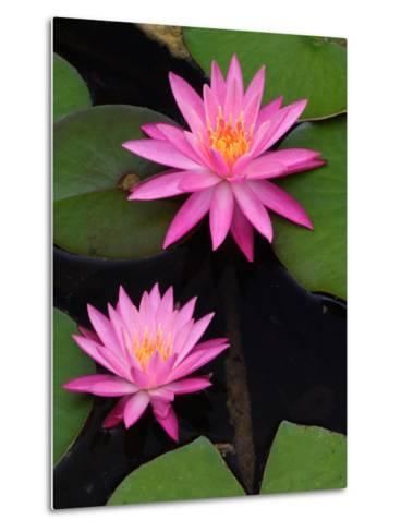 Hybrid Water Lily, Louisville, Kentucky, USA-Adam Jones-Metal Print