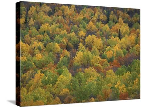 Fall Colors in a Northern Hardwoods Forest, Maine, USA-Jerry & Marcy Monkman-Stretched Canvas Print