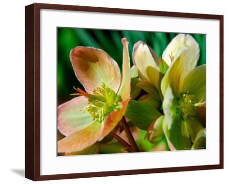 Hellebores, Reading, Massachusetts-Lisa S^ Engelbrecht-Framed Art Print