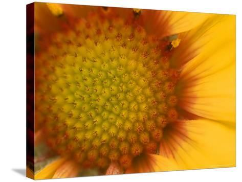 Blanketflower in Glacier National Park, Montana, USA-Chuck Haney-Stretched Canvas Print