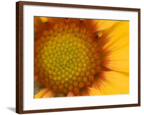 Blanketflower in Glacier National Park, Montana, USA-Chuck Haney-Framed Art Print