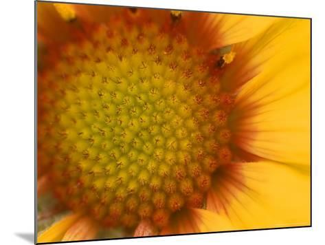 Blanketflower in Glacier National Park, Montana, USA-Chuck Haney-Mounted Photographic Print