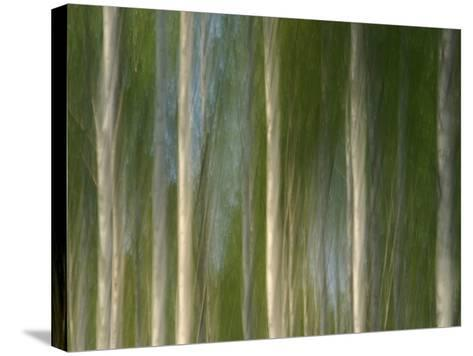 Tall Birch Trees with Pale Trunks and Green Leaves--Stretched Canvas Print