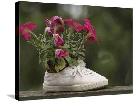 A White Shoe Used as a Flower Pot with Pink Blossoms--Stretched Canvas Print