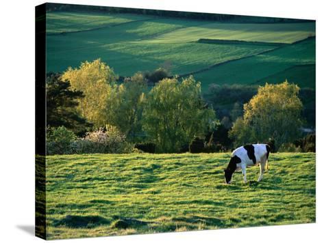 Cow in Field in Sinarpsdalen Valley, Above Bastad, Sweden-Anders Blomqvist-Stretched Canvas Print