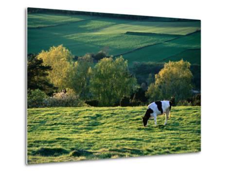 Cow in Field in Sinarpsdalen Valley, Above Bastad, Sweden-Anders Blomqvist-Metal Print