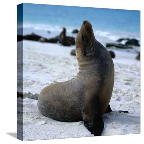 A Bull Sea Lion in Gardiner Bay, Isla Espanola, Galapagos, Ecuador-Wes Walker-Stretched Canvas Print