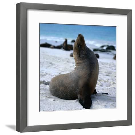 A Bull Sea Lion in Gardiner Bay, Isla Espanola, Galapagos, Ecuador-Wes Walker-Framed Art Print