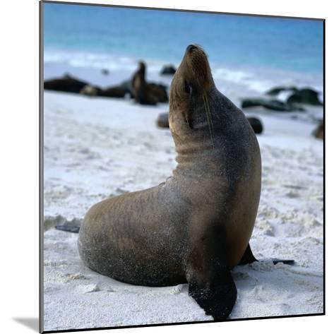 A Bull Sea Lion in Gardiner Bay, Isla Espanola, Galapagos, Ecuador-Wes Walker-Mounted Photographic Print