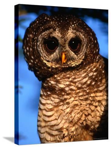 Wood Owl, South Africa-Carol Polich-Stretched Canvas Print