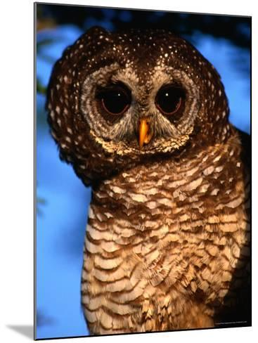 Wood Owl, South Africa-Carol Polich-Mounted Photographic Print