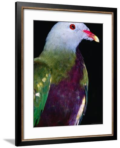 Wompoo Fruit Dove (Ptilinopus Magnificus), Iron Range National Park, Queensland, Australia-Mitch Reardon-Framed Art Print