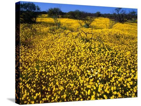 Desert Annual Wildflowers After Rain, Kalbarri National Park, Australia-Mitch Reardon-Stretched Canvas Print