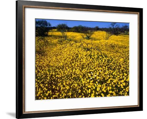 Desert Annual Wildflowers After Rain, Kalbarri National Park, Australia-Mitch Reardon-Framed Art Print