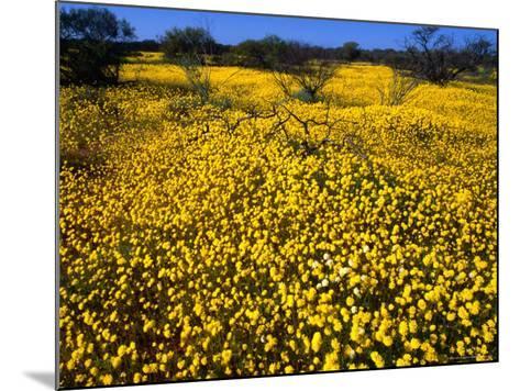 Desert Annual Wildflowers After Rain, Kalbarri National Park, Australia-Mitch Reardon-Mounted Photographic Print