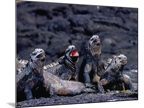Marine Iguanas (Amblyrhynchus Cristatus) in Ventilation Position, Punta Espinosa, Ecuador-Richard I'Anson-Mounted Photographic Print