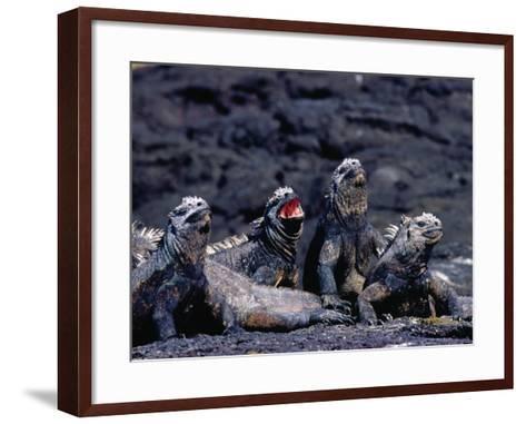 Marine Iguanas (Amblyrhynchus Cristatus) in Ventilation Position, Punta Espinosa, Ecuador-Richard I'Anson-Framed Art Print